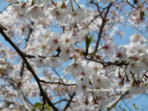 桜 - 2008